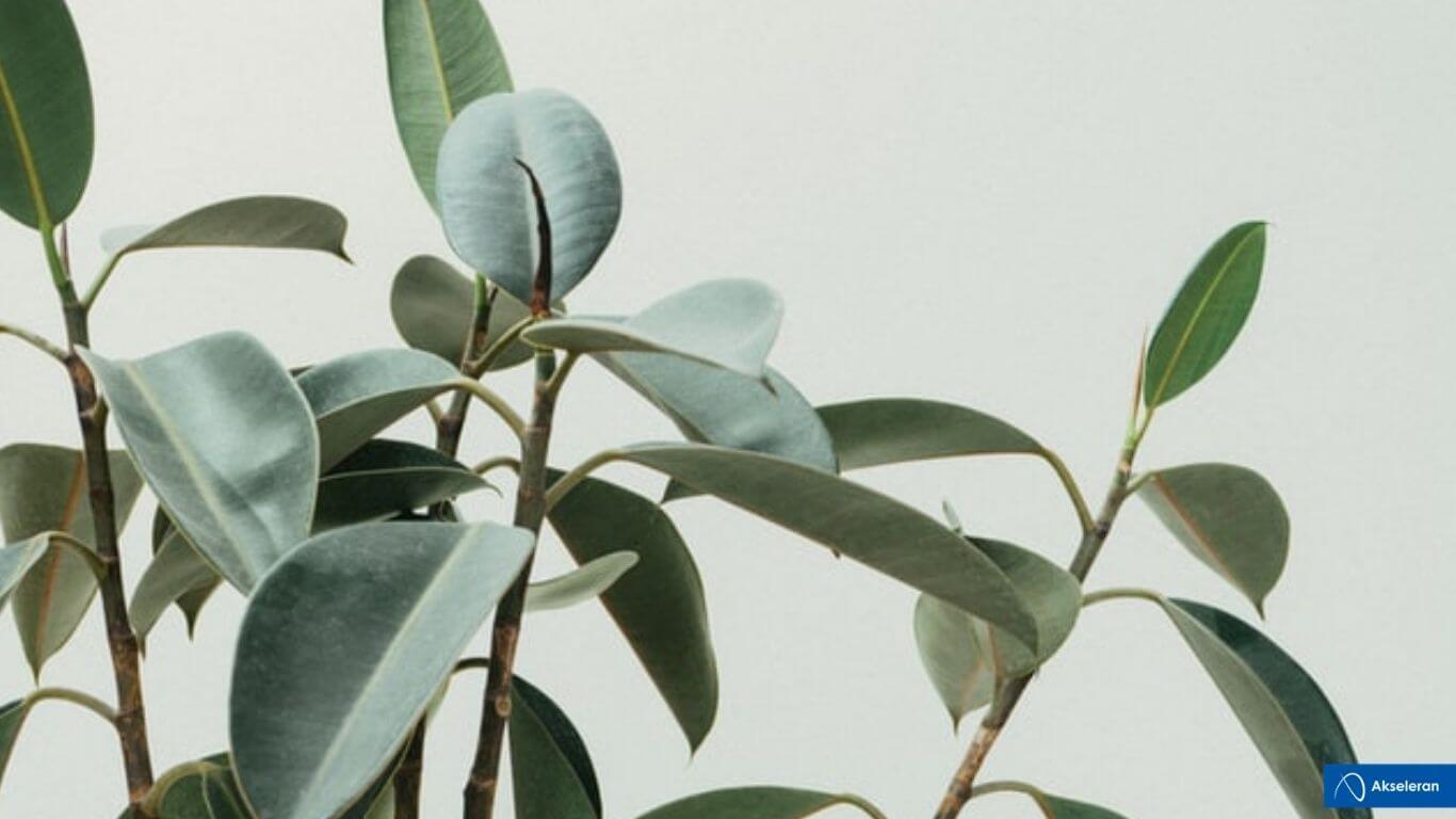 tanaman hias termahal